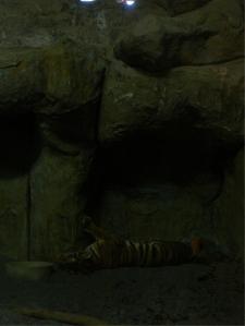 avilon_tiger